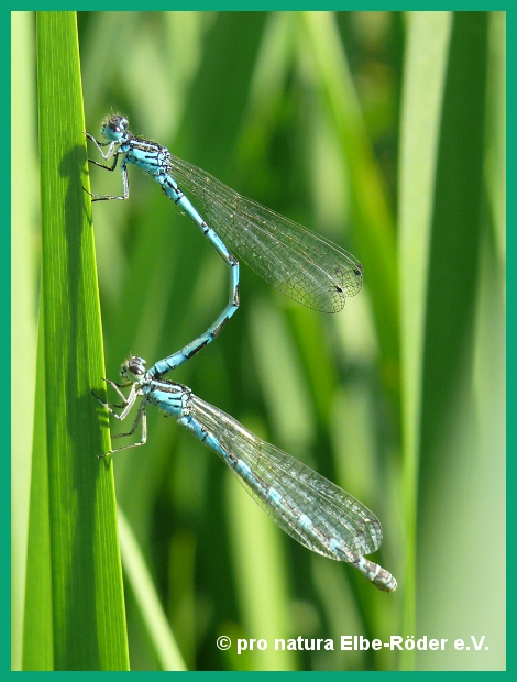 Vogel-Azurjungfer, Coenagrion ornatum